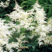 'Deutschland' is a perennial with feathery foliage, which unfurls in spring, followed in late summer with plumes of white flowers.  Astilbe 'Deutschland' added by Shoot)