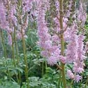 'Superba' is a fast-growing plant with divided leaves and dense spikes of rosy-purple flowers. Astilbe chinensis var. taquetii 'Superba' added by Shoot)