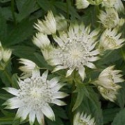 'Alba' is an herbaceous perennial with palmately divided leaves and branching stems bearing umbels of small pale green-white pincushion flowers in summer. Astrantia major 'Alba' added by Shoot)
