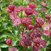 'Claret' is an herbaceous perennial with palmately divided leaves, branching stems bearing umbels of small flowers surrounded by showy pink-tinged white bracts in summer. Astrantia major 'Claret' added by Shoot)