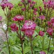 'Sunningdale Variegated' is an herbaceous perennial with palmately divided (five serrated 'fingers') leaves marked with creamy-yellow. Branching stems bear umbels of small flowers surrounded by showy pink-tinged white bracts. Astrantia major 'Ruby Wedding' added by Shoot)