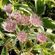 'Sunningdale Variegated' is an herbaceous perennial with palmately divided (five serrated 'fingers') leaves marked with creamy-yellow. Branching stems bear umbels of small flowers surrounded by showy pink-tinged white bracts. Astrantia major 'Sunningdale Variegated' added by Shoot)