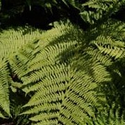 Athyrium filix-femina added by Shoot)