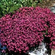 'Red Cascade' is a mat-forming perennial with single, deep magenta-red flowers. Aubrieta 'Red Cascade' Cascade Series added by Shoot)