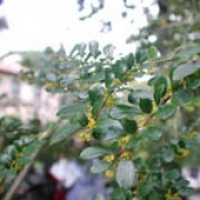 Azara microphylla added by Shoot)