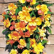 'Apricot Shades'  is a half-hardy, trailing annual with double flowers in a mix of apricot colours in summer. Begonia 'Apricot Shades' added by Shoot)