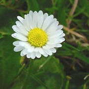 Bellis perennis added by Shoot)