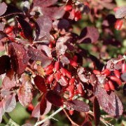 'Superba' has deep red-purple leaves that turn crimson in autumn.  Berberis x ottawensis 'Superba' added by Shoot)