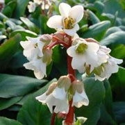 'Bressingham White' is a clump-forming evergreen perennial with large, dull-green leaves and erect stems of pure white flowers in spring. Bergenia 'Bressingham White' added by Shoot)
