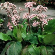 'Silberlicht' is an evergreen, clump-forming perennial with oval, mid-green leaves with scalloped margins. White flowers agining to pink in spring. Bergenia 'Silberlicht' added by Shoot)