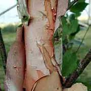 Betula papyrifera added by Shoot)