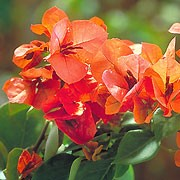 'Orange King' is a tender evergreen climber with ovate leaves and clusters of papery orange-red bracts around small red flowers. Bougainvillea x buttiana 'Orange King' added by Shoot)