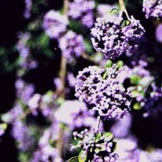 Buddleja alternifolia added by Shoot)