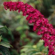'Royal Red' is a large deciduous shrub with arching branches, lance-shaped leaves and long panicles of scented purple-red flowers. Buddleja davidii 'Royal Red' added by Shoot)