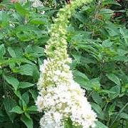 'White Profusion' is a fast-growing large deciduous shrub with arching branches, lance-shaped leaves and panicles of scented white flowers with yellow eye. Buddleja davidii 'White Profusion' added by Shoot)