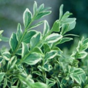 'Elegantissima' is a mid-sized, evergreen shrub with dense foliage.  Its dark-green leaves are edged with irregular white margins. 