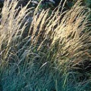 'Overdam' is a grass with flat, arching variagated leaves, and light cream panicles that fade to pale-brown. Calamagrostis x acutiflora 'Overdam' added by Shoot)