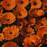 'Indian Prince' has long stems of dark-orange daisy-like flowers with red-brown flushed petals.  Calendula officinalis 'Indian Prince' added by Shoot)