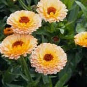 'Pink Surprise' has an outer border of soft, ruffled, orange blooms and unique tinge of pink in the middle.  Calendula officinalis 'Pink Surprise' added by Shoot)