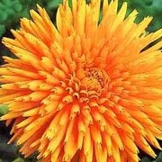 'Radio Extra Selected' has large orange flowers with quilled petals. Calendula officinalis 'Radio Extra Selected' added by Shoot)