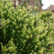 'Spring Cream' is a fast-growing evergreen shrub with dark green foliage tipped in cream and tiny white flowers. Calluna vulgaris 'Spring Cream' added by Shoot)