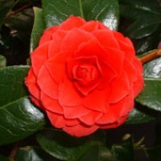 'Black Lace' is a small, compact, evergreen shrub with glossy, dark-green, leaves.  It bears black-red, double flowers in spring. Camellia 'Black Lace' added by Shoot)