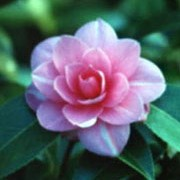 'Inspiration' is a large, upright, evergreen shrub with shiny, dark-green leaves.  It bears deep-pink, semi-double flowers from midwinter to late spring. Camellia 'Inspiration' added by Shoot)