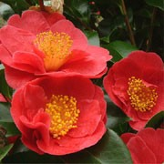 'Alexander Hunter' is a large, erect, evergreen shrub with glossy, dark-green leaves.  It bears double, crimson flowers in spring.  Camellia japonica 'Alexander Hunter' added by Shoot)