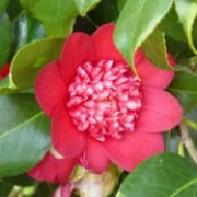 'Bob's Tinsie' is an upright, compact, evergreen shrub with glossy, dark-green leaves.  It bears anemone-form, bright-red flowers in spring.