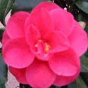 'Coquettii' is a compact shrub with double, light red flowers. Camellia japonica 'Coquettii' added by Shoot)