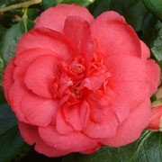 'Drama Girl' is a mid-sized, evergreen shrub with glossy, dark-green leaves.  It bears rose-pink, semi-double flowers in spring. Camellia japonica 'Drama Girl' added by Shoot)