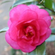 'Elegans' is a mid-sized, spreading, evergreen shrub with glossy, dark-green leaves.  It bears deep-pink, double flowers in spring. Camellia japonica 'Elegans' added by Shoot)
