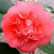 'R.L. Wheeler' is a large, open, rounded, evergreen shrub with dark-green, glossy leaves.  It bears large, red flowers in spring.
