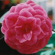 'Rubescens Major' is a compact, dense, evergreen shrub with dark-green, glossy leaves.  It bears double or rose-form, crimson flowers in spring. Camellia japonica 'Rubescens Major' added by Shoot)