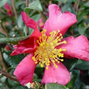 'Crimson King' is a vigorous upright shrub with large  bright red fragrant blooms and bright yellow stamens