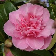 'Debbie' is a large, open, evergreen shrub with glossy, dark-green leaves.  It bears double, rose-pink flowers in spring.  Camellia x williamsii 'Debbie' added by Shoot)