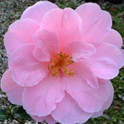 'Donation' is a vigorous shrub with semi-double, light rose-pink flowers. Camellia x williamsii 'Donation' added by Shoot)