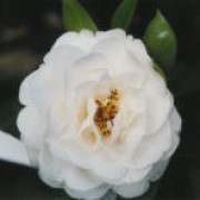 'E.T.R. Carlyon' is a fast-growing shrub of semi-double white flowers. Camellia x williamsii 'E.T.R. Carlyon' added by Shoot)