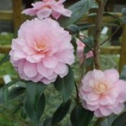 'Galaxie' is a medium shrub with pale pink semi-double flowers finely striped with deep pink. Camellia x williamsii 'Galaxie' added by Shoot)