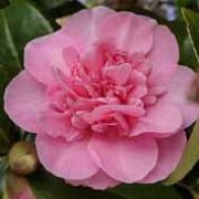 'Joan Trehane' is a large shrub with light pink, double flowers.
