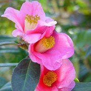 'Mary Christian' is an upright, open, evergreen shrub with dull, dark-green leaves.  It bears rose-pink, trumpet-shaped flowers in late winter and early spring.