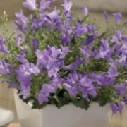 'Monic' is a compact hardy perennial with light-lilac, star-shaped flowers in summer. Campanula 'Monic' added by Shoot)