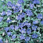 Campanula cashmeriana added by Shoot)