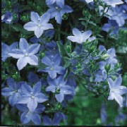 Campanula isophylla added by Shoot)
