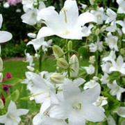 Campanula pyramidalis alba added by Shoot)