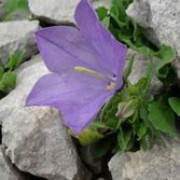 Campanula raineri added by Shoot)
