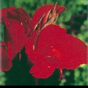 'Brillant' has ovate, mid-green leaves and bright red flowers. Canna 'Brillant' added by Shoot)
