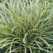 'Ice Dance' is a clump-forming perennial forming a mound of long, thick, straight tapering evergreen leaves which are variegated with creamy-white margins. Carex morrowi 'Ice Dance' added by Shoot)