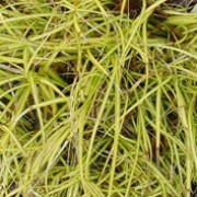 'Evergold' is an evergreen sedge with narrow arching leaves centre striped yellow and brown flower spikes. Carex oshimensis 'Evergold' added by Shoot)