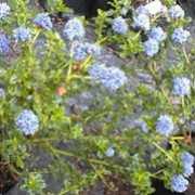 'Blue Mound' is a bushy, mid-sized, evergreen shrub with glossy, dark-green leaves.  It bears bright-blue, small flowers in spring.  Ceanothus 'Blue Mound' added by Shoot)